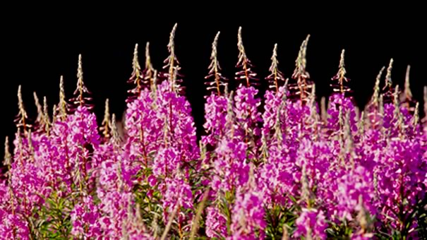 fireweed photo