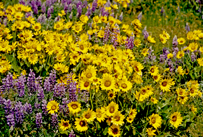 sunflowers and lupine photo