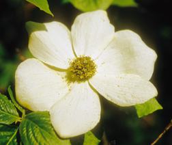 dogwood photo